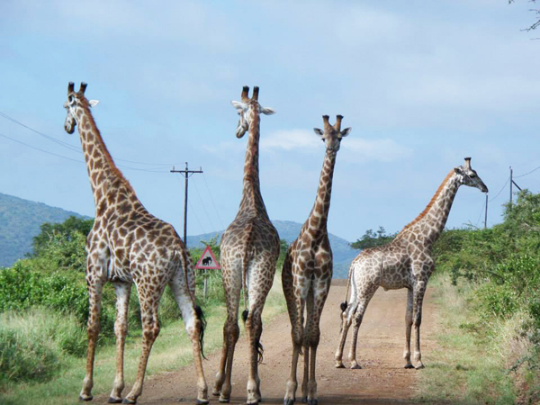 Thanda 4Giraffs